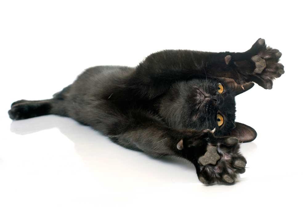 Gato negro cariñoso