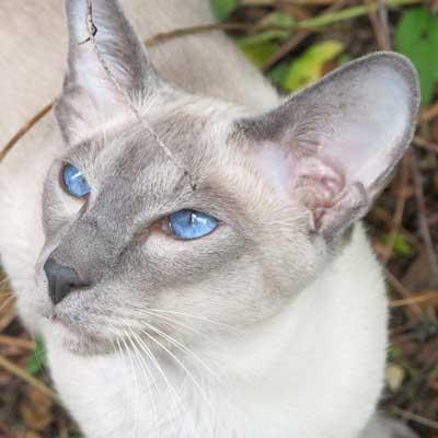 Gato siamés mirando