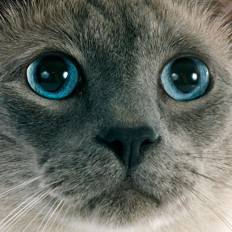 Primer plano de gato siamés