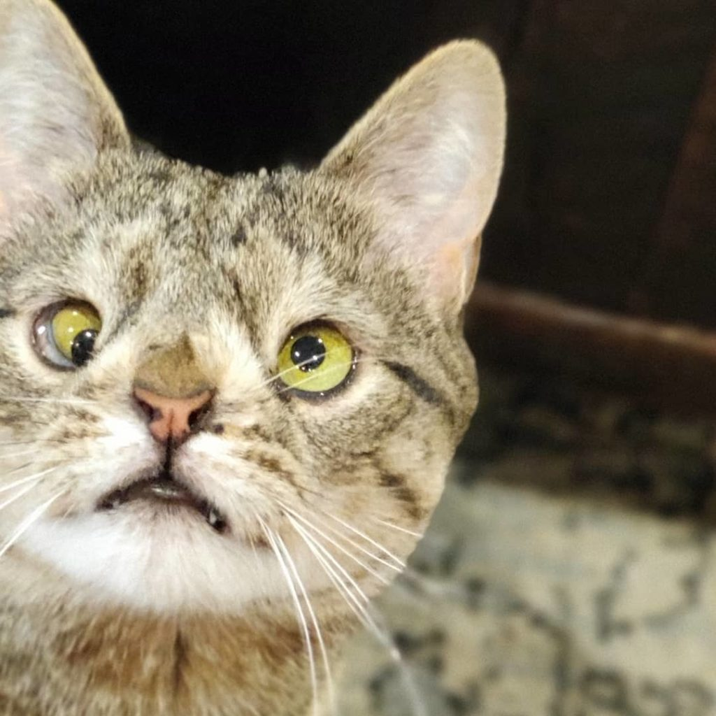 maya uno de los muchos gatos con sindrome de down
