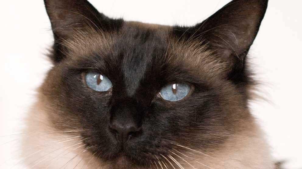 Gato Balinés: Un siamés de pelo largo