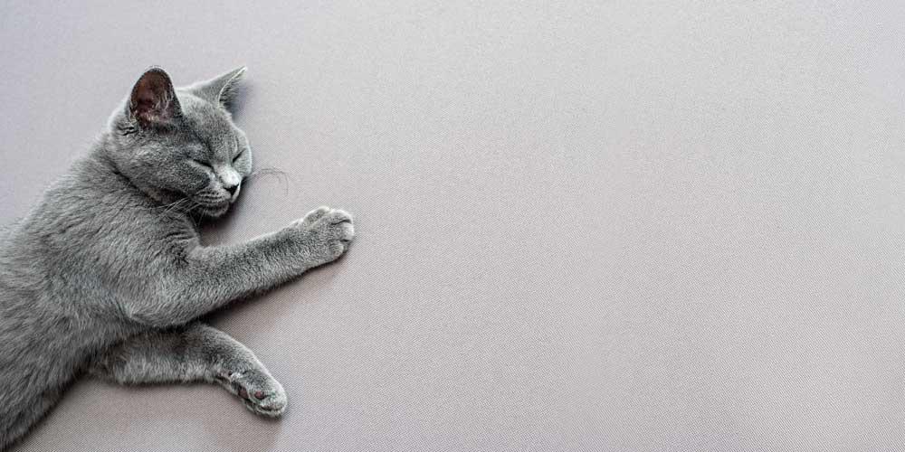 gato british shorthair acostado