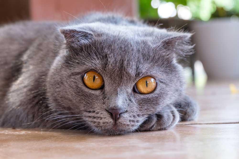 El carácter tranquilo del gato british shorthair