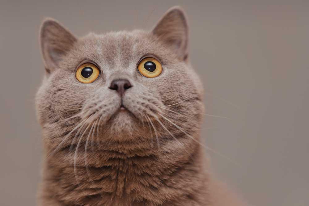 gato british shorthair observando
