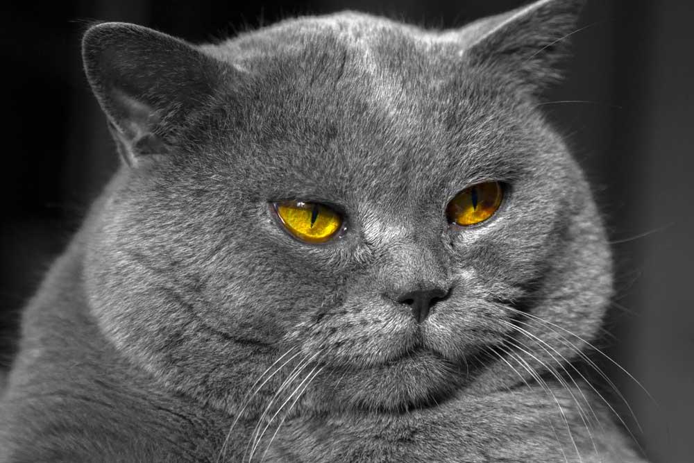 Gato británico obeso