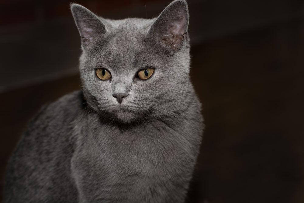 gato british shorthair o gato británico de pelo corto
