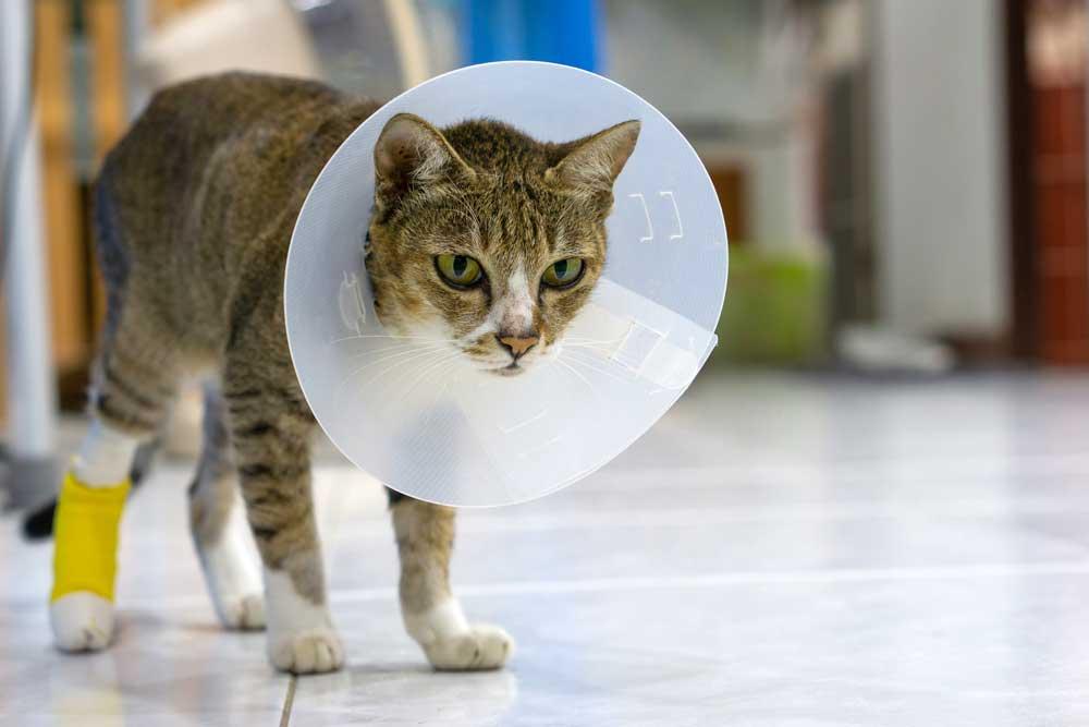 gato herido con campana