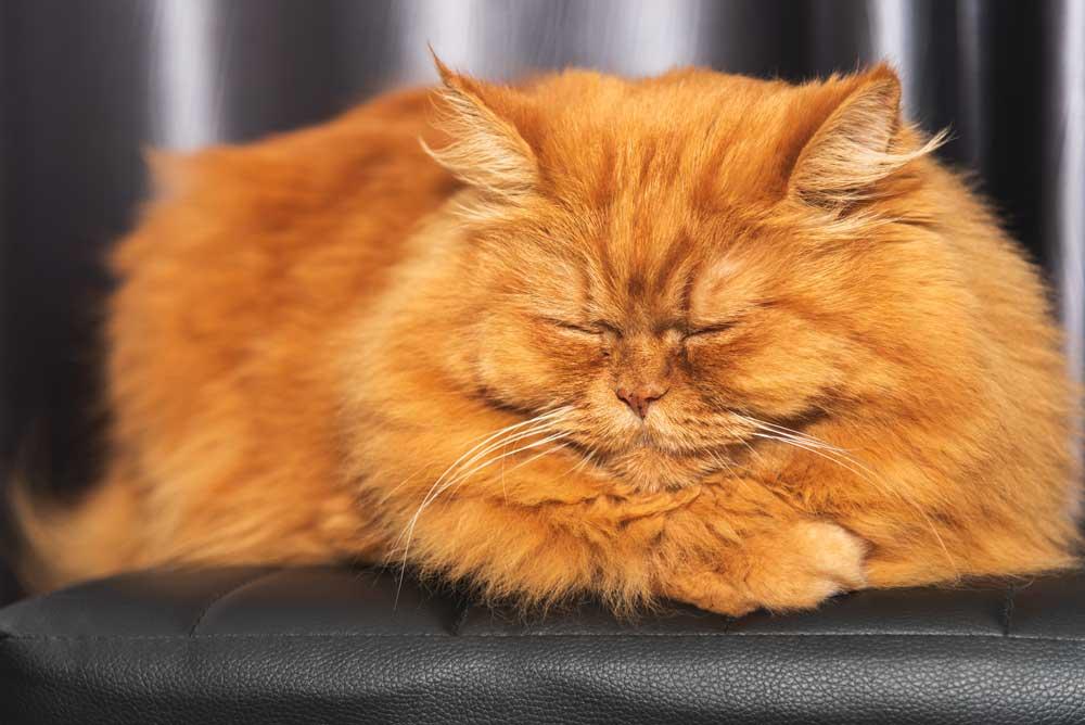 cuántos años vive un gato obeso