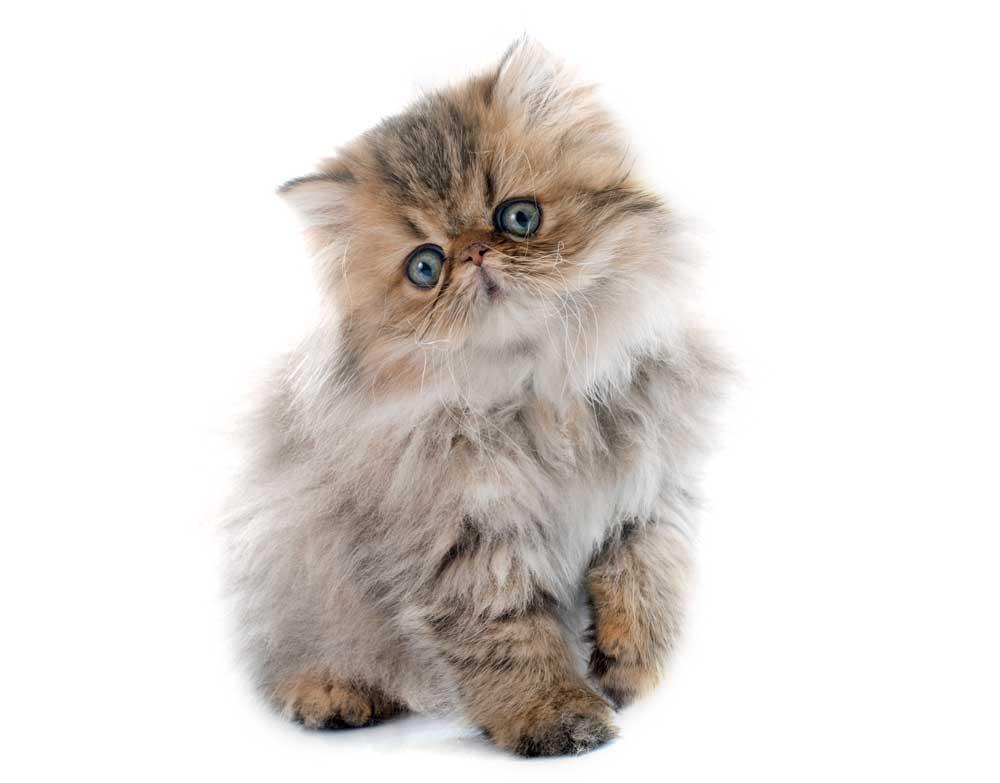 Cuántos años vive el gato persa