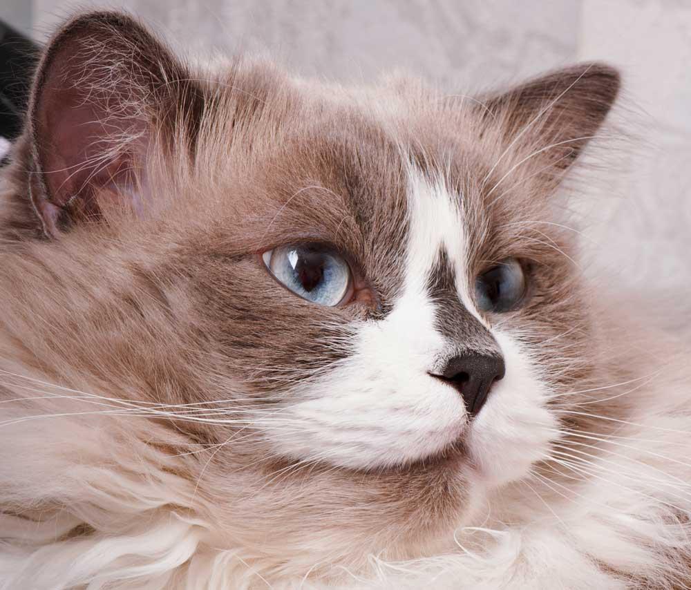 el gato ragdoll