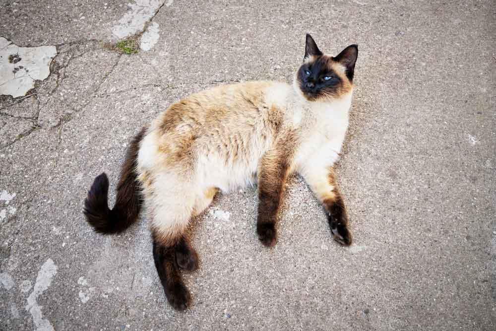 gato siames abandonado