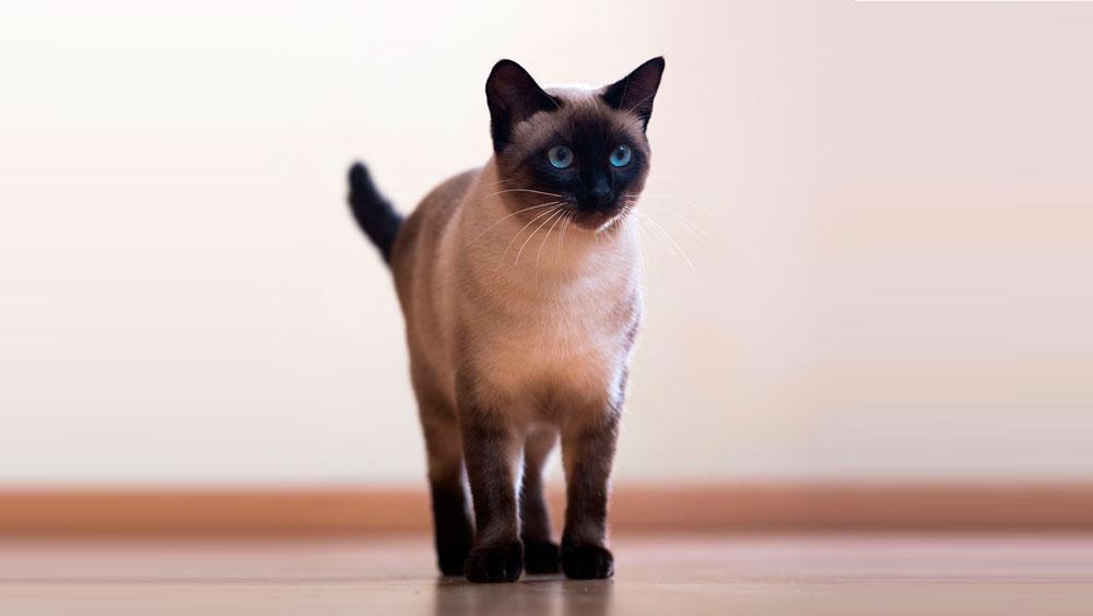 gato siamés adoptar