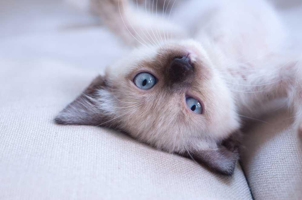 gato siames bebé