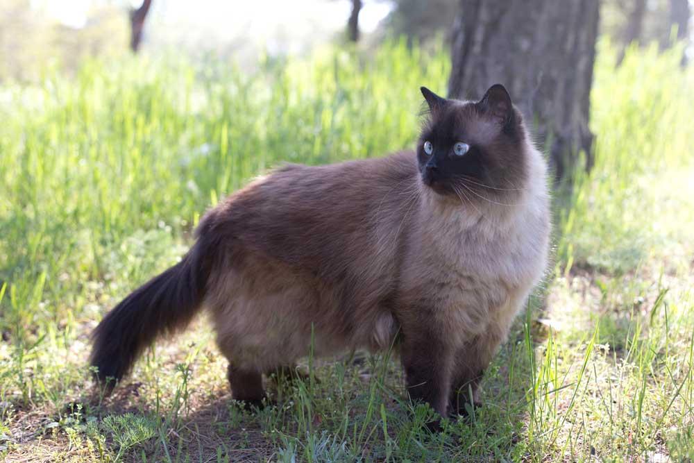 gato siamés de pelo largo