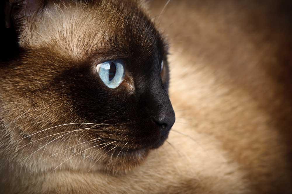 gato siamés, el principe de los gatos