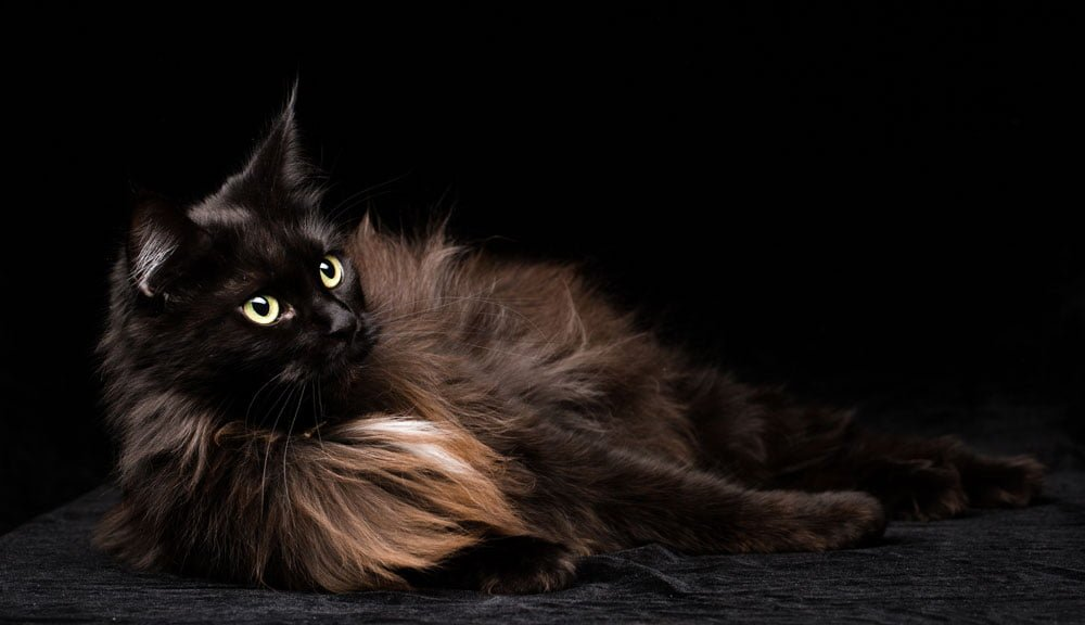 Gato Maine coon negro