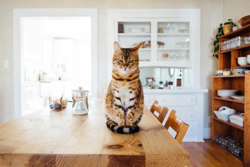 cómo preparar comida casera para gato