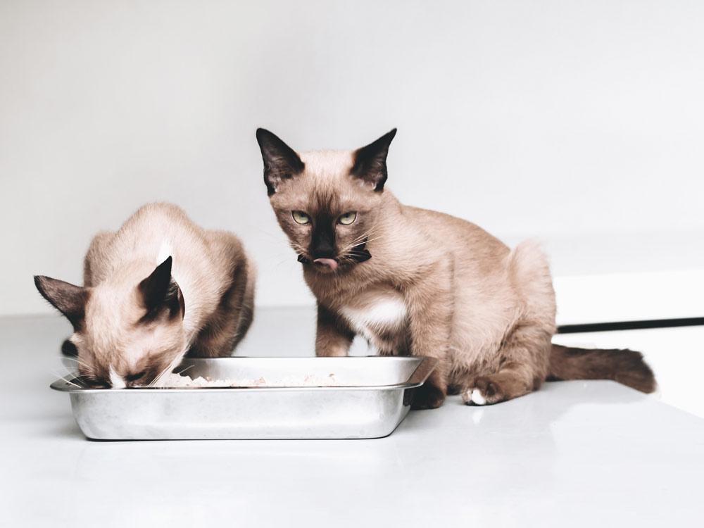 como alimentar a un gato siames