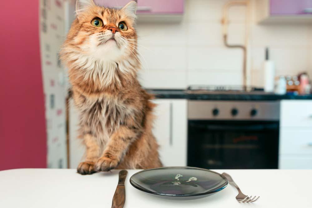 alimentar a un gato adulto